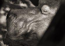 Hippopotamus portrait (monochrome) Royalty Free Stock Image