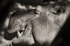 Hippopotamus portrait (sepia) Stock Image
