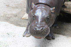 Hippopotamus. Portrait shots of the endangered hippopotamus from Sub-Saharan Africa. These animals are mostly herbivores. They are known to be an aggressive Stock Photo