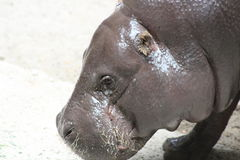 Hippopotamus. Portrait shots of the endangered hippopotamus from Sub-Saharan Africa. These animals are mostly herbivores. They are known to be an aggressive Stock Images