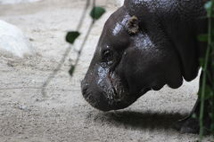 Hippopotamus. Portrait shots of the endangered hippopotamus from Sub-Saharan Africa. These animals are mostly herbivores. They are known to be an aggressive Royalty Free Stock Images