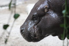 Hippopotamus. Portrait shots of the endangered hippopotamus from Sub-Saharan Africa. These animals are mostly herbivores. They are known to be an aggressive Royalty Free Stock Photography