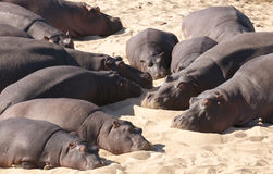 Hippopotamus preguiçoso Fotografia de Stock Royalty Free