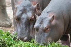Hippopotamus with puppy Stock Photo