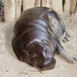 Hippopotamus pygméen Photo libre de droits