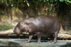 Hippopotamus pygmy Stock Image