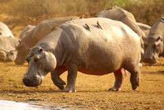 Southern african animals. Hippopotamus with red-billed oxpecker Royalty Free Stock Photography