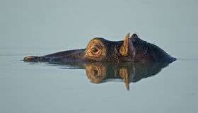 hippopotamus reflection. Royalty Free Stock Photo