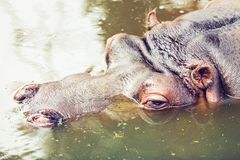 Hippopotamus relaxing in the water Royalty Free Stock Photo