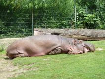 A large fat behemoth is sleeping on the grass. Hippopotamus rest on the lawn in the German zoo. Brown and green Stock Photos