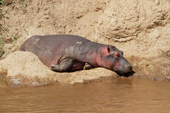 Hippopotamus resting Royalty Free Stock Photography