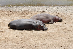 Hippopotamus resting on the sands of Mara River Stock Photos