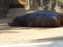 Hippopotamus resting in sun on the ground stock images