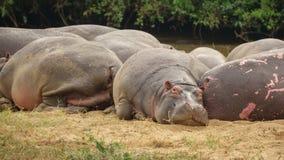 Hippopotamus resting, taking a nap Stock Photography