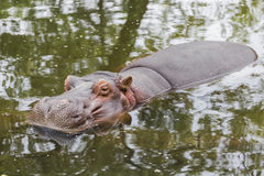 Hippopotamus resting Stock Photo