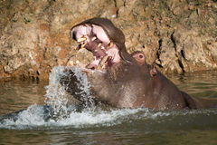 Hippopotamus rising from water to open mouth Royalty Free Stock Photo