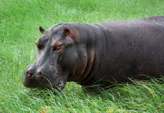 Hippopotamus in the river Stock Photos