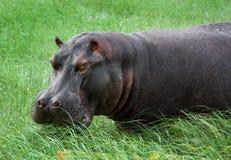 Hippopotamus in the river. An hippopotamus eating grass in the Okavango Delta, Botswana, Africa stock photos