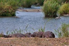Hippopotamus in river Royalty Free Stock Image