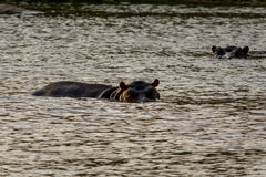 Hippopotamus in the River in greater Kruger National Park, South Stock Photos
