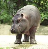 Hippopotamus, river horse caught on safari Stock Photos