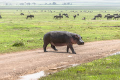 Hippopotamus on the road. One big Hippopotamus going through the way in Ngorongoro Crater, Ngorongoro Conservation Area, Tanzania. Africa Stock Image