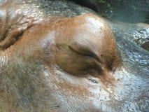 Hippopotamus`s Eye Stock Image