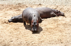 Hippopotamus on the sands of Mara River Stock Image
