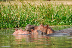 Hippopotamus school Royalty Free Stock Photos