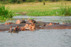Hippopotamus school Royalty Free Stock Image