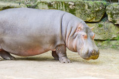 Hippopotamus seen from close up Royalty Free Stock Images
