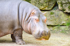 Hippopotamus seen from close up Royalty Free Stock Image