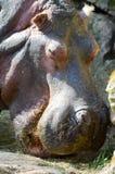 Hippopotamus seen from close up Stock Photos