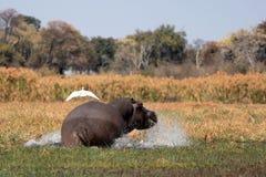 Hippopotamus selvaggio nel waterhole, sosta del gioco di Mahango immagine stock