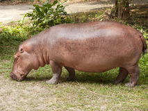 The hippopotamus is semi-aquatic. Inhabiting rivers and lakes where territorial bulls preside over a stretch of river and groups of 5 to 30 females and young Royalty Free Stock Images
