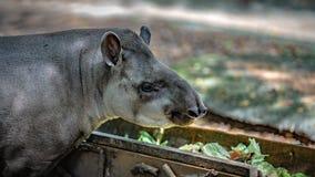 Hippopotamus Semi Aquatic Mammal Animal stock photos
