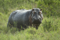 Hippopotamus in the serengeti reserve Royalty Free Stock Photos