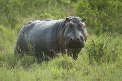 Hippopotamus in the serengeti reserve Royalty Free Stock Photos