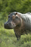 Hippopotamus in the serengeti reserve Royalty Free Stock Photo