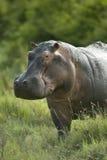 Hippopotamus in the serengeti reserve royalty free stock photo