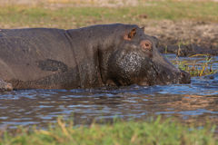 Hippopotamus  in shallow water Royalty Free Stock Images