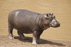 Hippopotamus. On the shore of the Mara River in Kenya stock photos