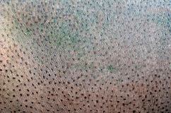 Hippopotamus skin Stock Photography