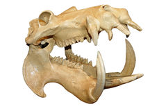 Hippopotamus skull Stock Image