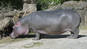 Hippopotamus 15 Royalty Free Stock Photography