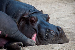 The hippopotamus sleeps on sand. The head of the hippopotamus sleeping on sand Stock Photos
