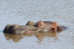 Hippopotamus sleeping in the water Stock Image