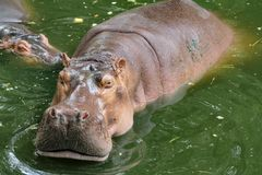 Hippopotamus smile in river royalty free stock photos