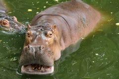 Hippopotamus smile in river royalty free stock photography