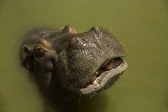 Hippopotamus. Smiling at Africa park in Egypt Stock Photos